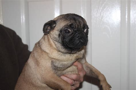 pug adults for sale pugs for sale japanese