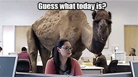 Camel Hump Day Meme - hump day on pinterest hump day its hump day and hump