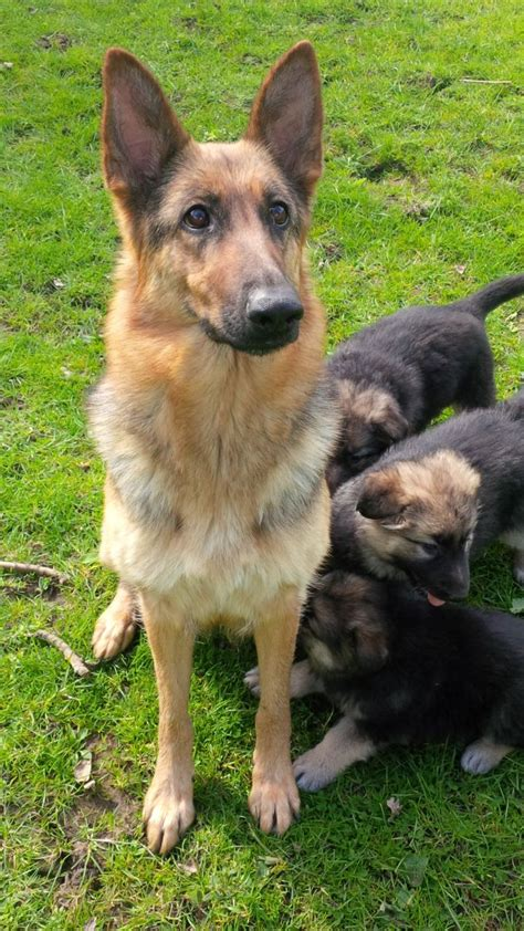 labrashepherd puppies for sale german sheprador photos breeds picture