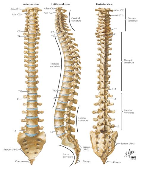 vertebral column sections krishnamacharya s original ashtanga vinyasa krama yoga and
