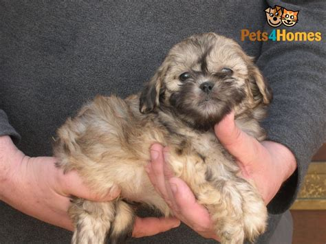 shih tzu poodle cross shih tzu cross mini poodle 345 posted 1 year ago for sale dogs quotes