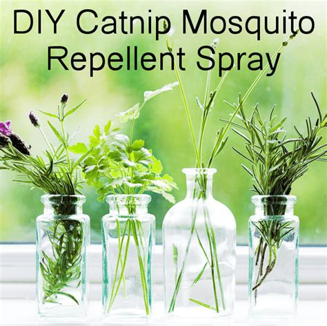 diy mosquito repellent spray catnip spray more effective