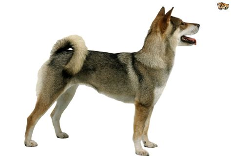 all puppy all about the shikoku breed pets4homes