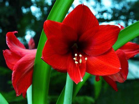 amaryllis fiore amaryllis bulbi coltivare amaryllis