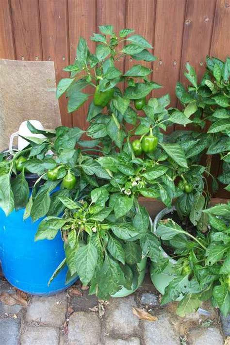Garten Paprika Pflanzen by Paprika Pflanzen Www Garten Anlegen Eu
