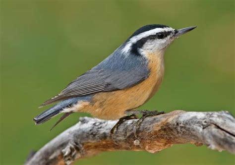 nuthatch bird britannica com