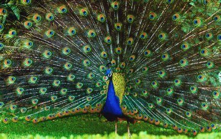 pavos reales pavo real www pixshark com images galleries with a bite