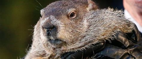 groundhog day us arrest warrant issued for punxsutawney phil in new