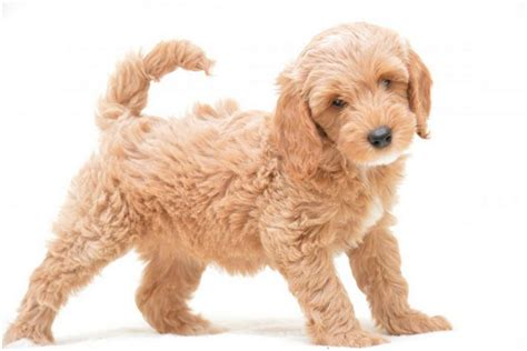 cockapoo puppies price cockapoo puppies facts pictures breeders price temperament animals adda