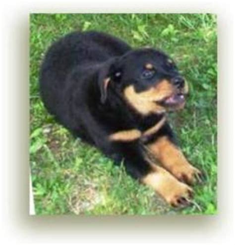 rottweiler biting how to stop rottweiler puppy biting all puppies bite so what can you do to stop it