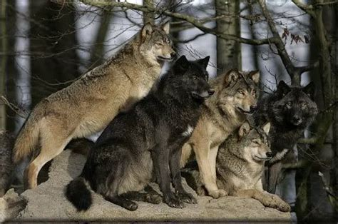 9 best images about wolf wolf pack animals i love pinterest