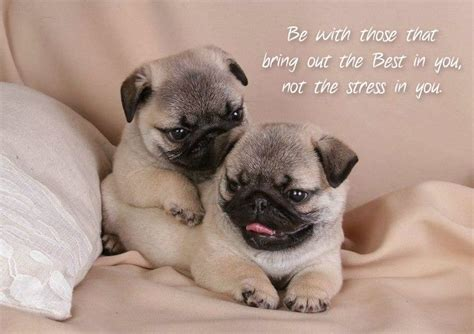 pug slogans pugs quotes