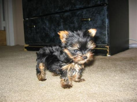 teacup yorkie baby baby yorkie teacup www pixshark images galleries with a bite