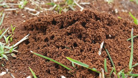 how to get rid of fire ants in the house how to get rid of fire ants in your plants garden style san antonio landscaping