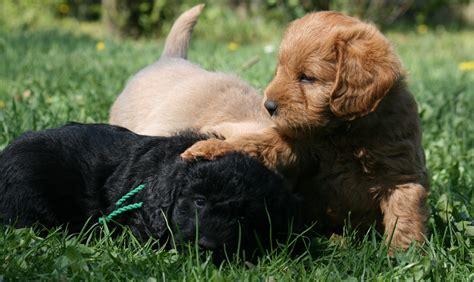 mini doodle til salgs hundepension salg af hundehvalpe og hundepsykolog m fl