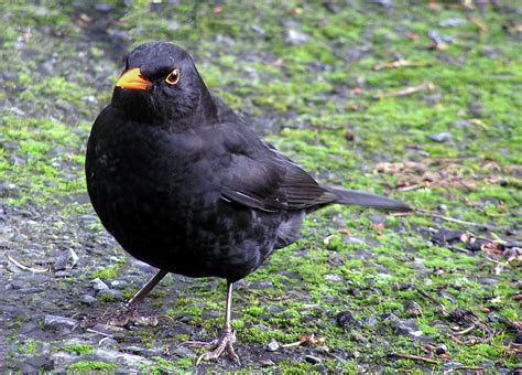file male blackbird b jpg