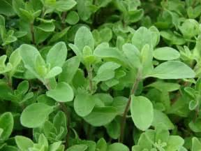 Herbal Plants Sweet Marjoram Heirloom Herb Seed Sweet Marjoram Seed