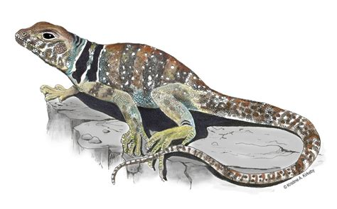 collared lizard coloring page collared lizard drawing