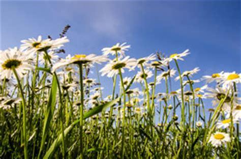 margeriten pflege im topf margerite leucanthemum pflege schneiden und 220 berwintern