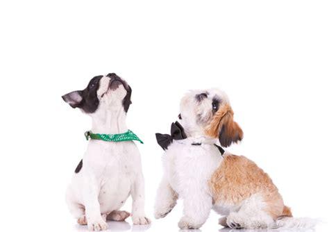 shih tzu puppy tips shih tzu puppy tips breeds picture