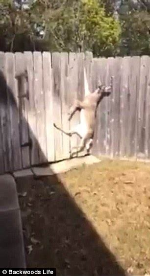 how to keep from jumping fence deer left dangling from fence by hoof after misjudging a jump daily mail