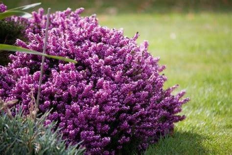 fiori di erica l erica vari tipi di erica