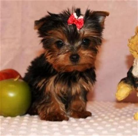 free yorkie puppies in arkansas adorable and lovely bulldog puppies maumelle ar asnclassifieds