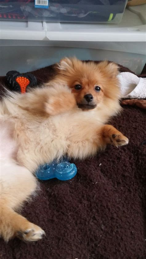 pomeranian 4 months 4 month stunning pom for sale paisley renfrewshire pets4homes