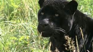 Melanistic Jaguar Cat In Black The Melanistic Jaguar The Rainforest Site
