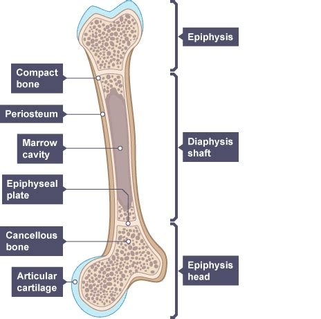 bone marrow section bbc gcse bitesize science endoskeletons and