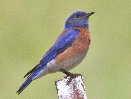 mountain bluebird identification all about birds