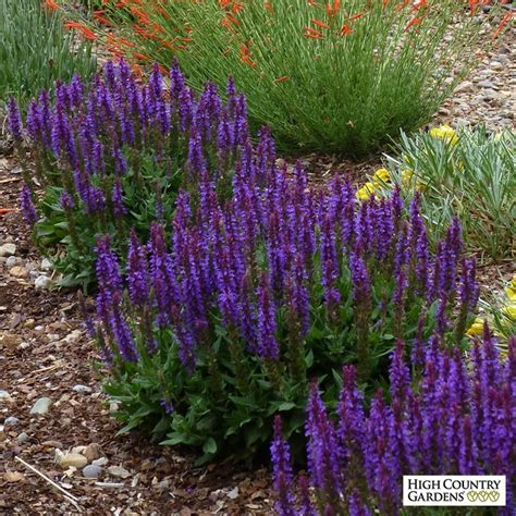 little night european sage 2015 plant of the year salvia sylvestris little night high