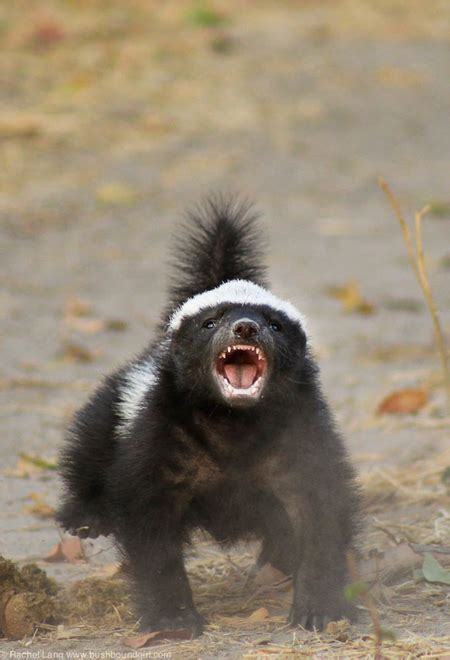 crazy baby honey badger at camp linyanti africa geographic