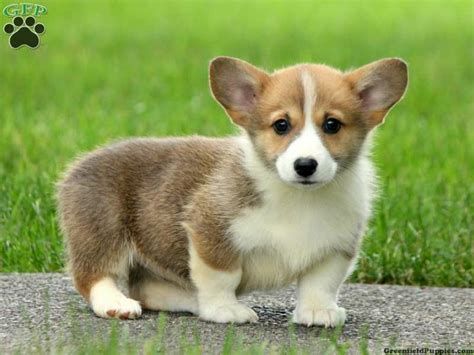 where to sell puppies dolly corgi puppy for sale from woodstown nj
