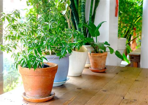 how to revive a plant how to revive a dying houseplant garden club