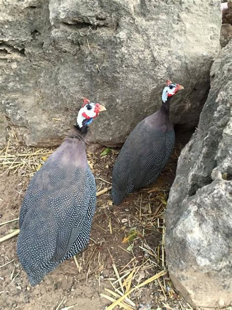 backyard guinea fowl introduction to keeping guinea fowl backyard chickens