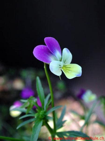 schmieriger stuhl therapeutika viola tricolor
