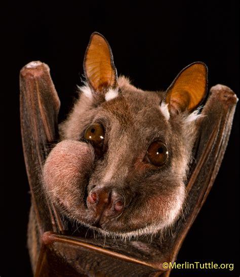 how i photograph bats merlin tuttle s bat conservation