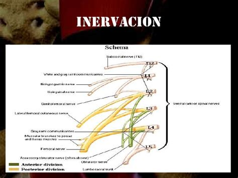 anatomia de la cadera anatomia de la cadera