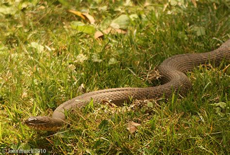 Garden Snake In Maryland Animals