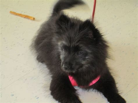 terrier pomeranian mix pictures animal rescue foundation of bartlesville arf dogs