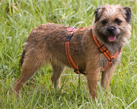 border terrier puppies border terriers images border terrier hd wallpaper and background photos 13687119