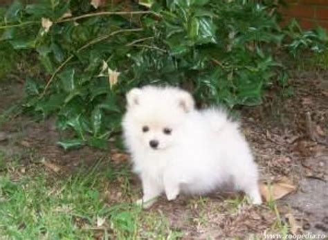 chihuahua vs pomeranian chihuahua vs pomeranian breeds picture