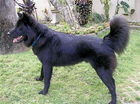 Anjing Kintamani Bali anjing kintamani bahasa indonesia
