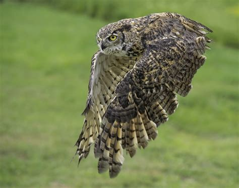 great horned owl in flight animal kingdom pinterest