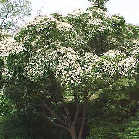 kousa dogwood cornus kousa var chinensis trees for