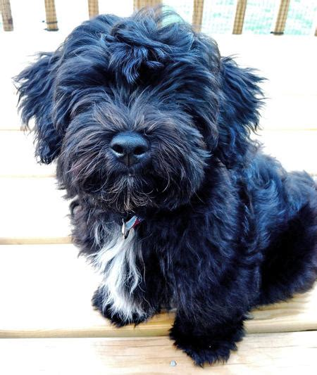 black havanese puppies pics for gt black havanese poodle mix