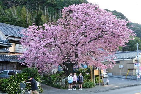 imagenes de paisajes japoneses anime paisaje de cerezos una verdadera hermosura jap 243 n