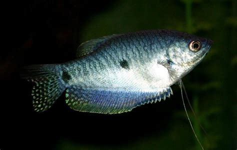 gourami family osphronemidae our wild world