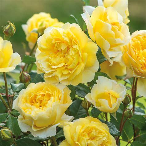 Pupuk Organik Bunga Mawar mudahnya merawat tanaman bunga mawar pupuk organik cair